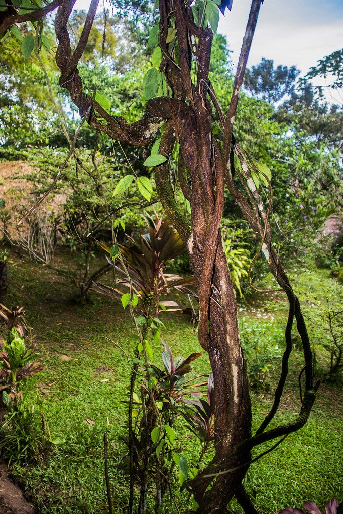 Ayahuasca helps to open up the pineal gland and release DMT.